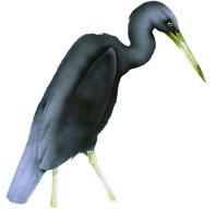 matuku-moana/reef heron
