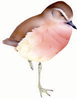 tuturiwhatu/NZ dotterel SEA bird